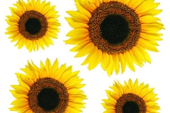54106 Sunflowers 1